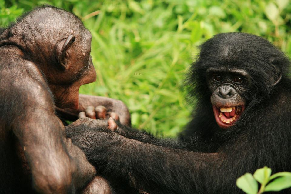 LOL-2 Nioki & Boyoma@Group 3, Lola<br /> Bonobo天生就一副无忧无虑的样子,当了妈的Nioki还会乐呵呵的跟3-4岁的Boyoma追逐打闹,玩得笑抽筋的。<br />