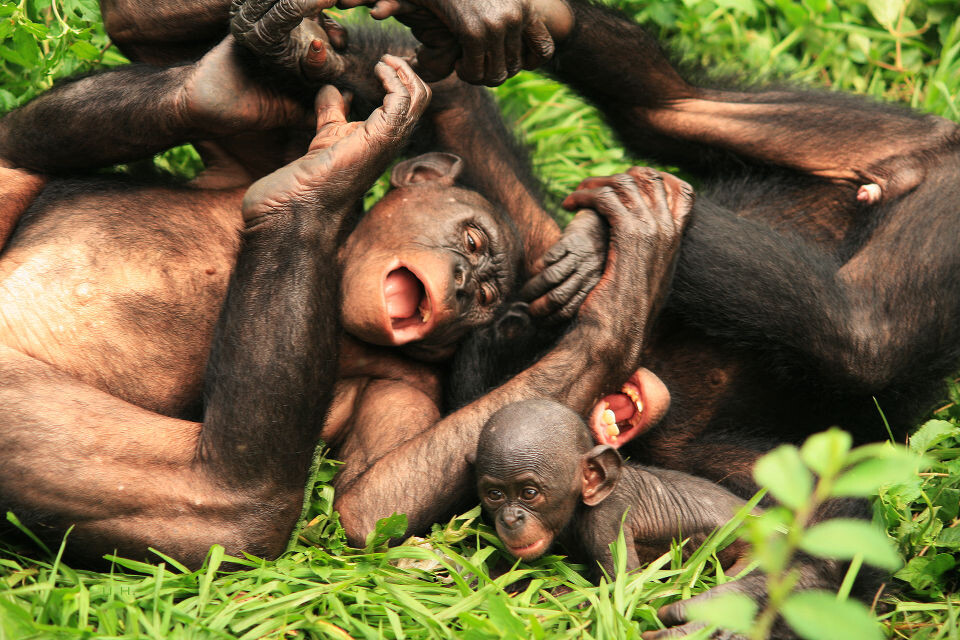 LOL Nioki & Boyoma@Group 3, Lola<br /> Bonobo天生就一副无忧无虑的样子,当了妈的Nioki还会乐呵呵的跟3-4岁的Boyoma追逐打闹,玩得笑抽筋的。