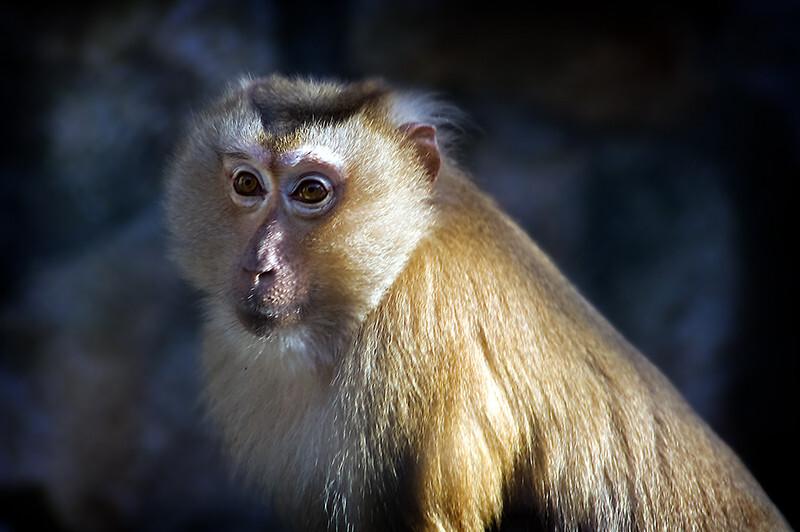 中国猴子种类_09年11月29日 猴子 <较旧的评论较新的评论> 图虫是中国最专业