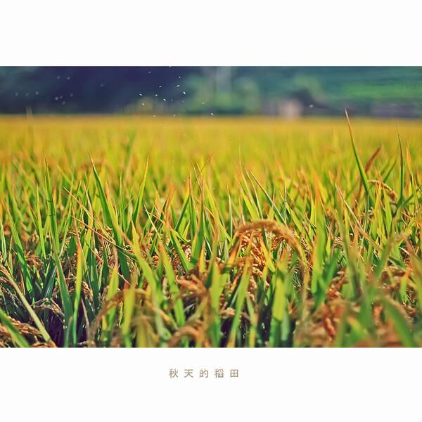 秋天的稻田 秋天的稻田风景 秋天的稻田大图