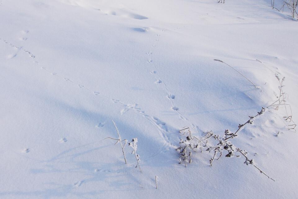 吉林雾凇岛,雪地上的小鸡脚印图片