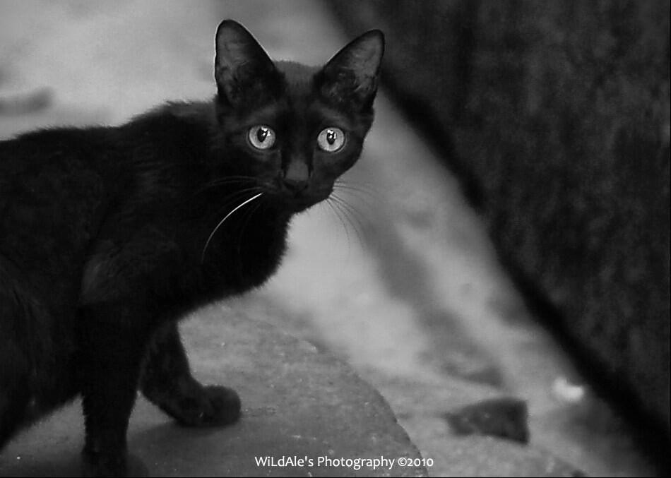 小黑猫 - wildale - 图虫摄影网