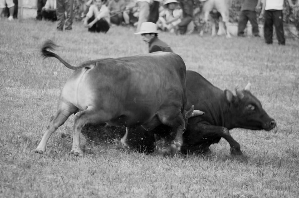 斗牛.要不要_西班牙斗牛_西班牙斗牛视频