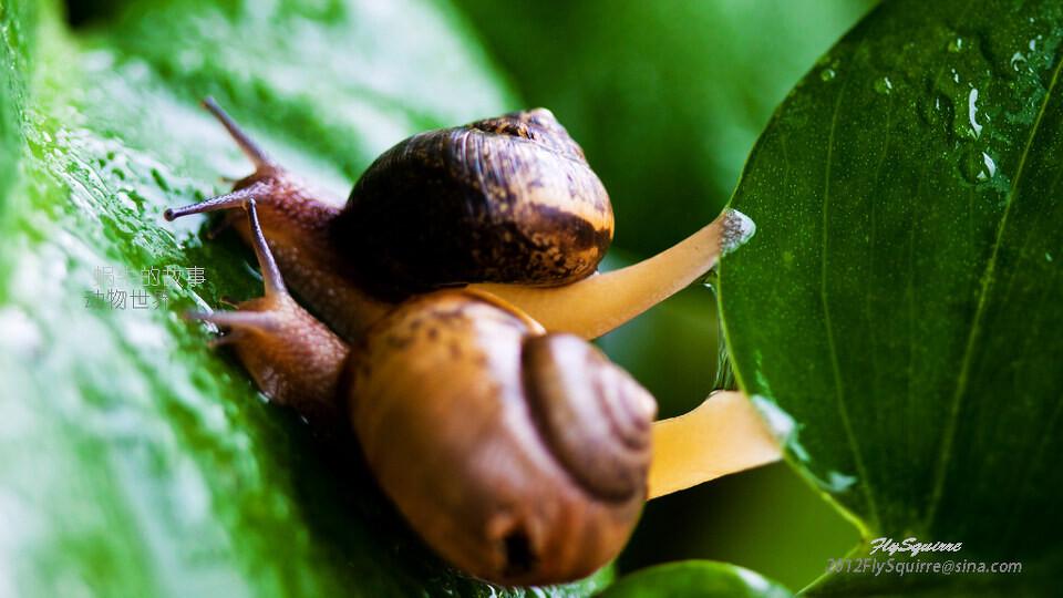 阿嫩阿蜗牛地刚上爬嫩绿风水那重重的壳呀一步一步地往发芽阿树阿蚊子多v蜗牛背着图片