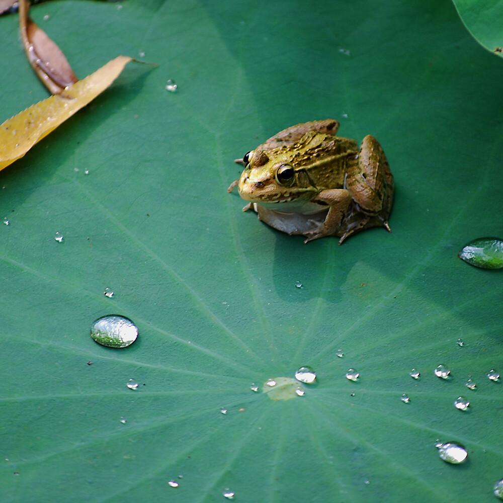 雨后 青蛙/蛙荷塘里的青蛙,雨后都跳到荷叶上晒太阳