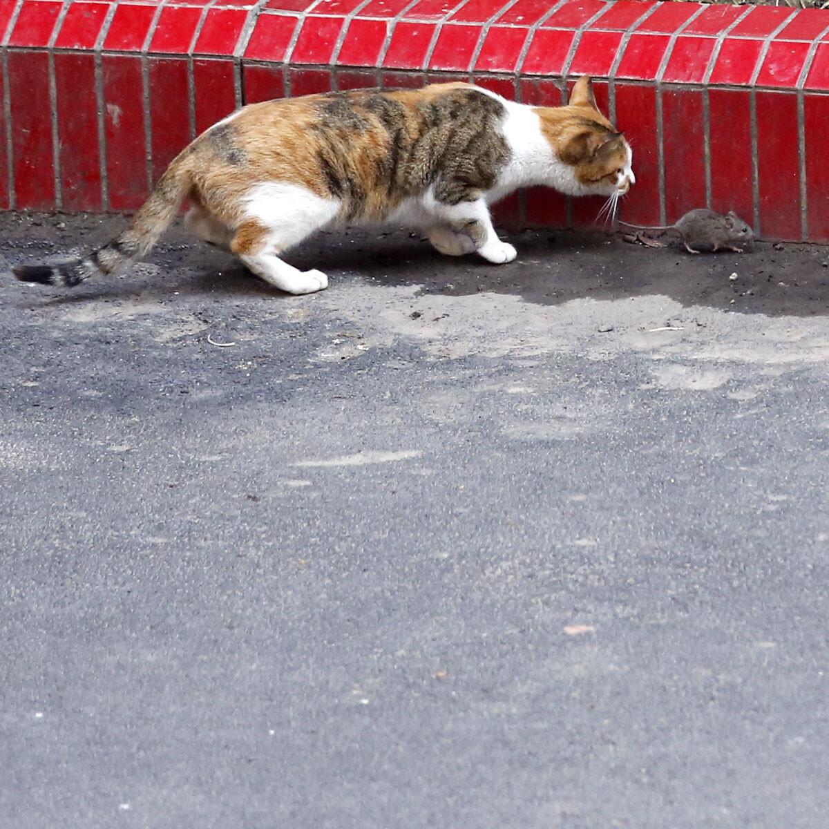 老鼠 谣传/_YOL9167 老鼠怕猫,不是谣传。果断举头拍下瞬间
