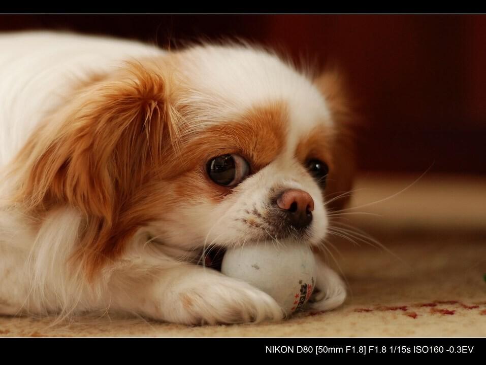 小狗狗和她的乒乓球图片