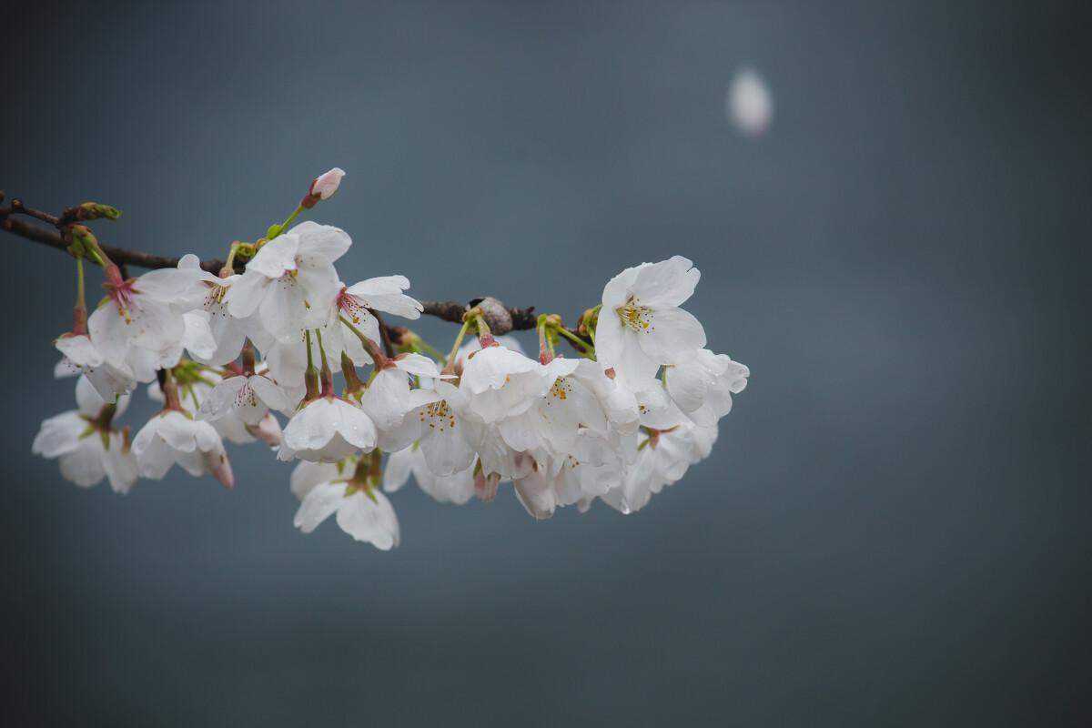 清新/灰色背景更能让人欣赏樱花本身的色泽和美感,背景中那片飘落的...