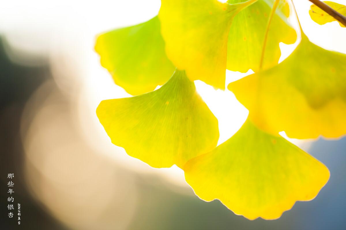 那些年的银杏·钓鱼台 - 北京, 微距, 植物, 银杏图片