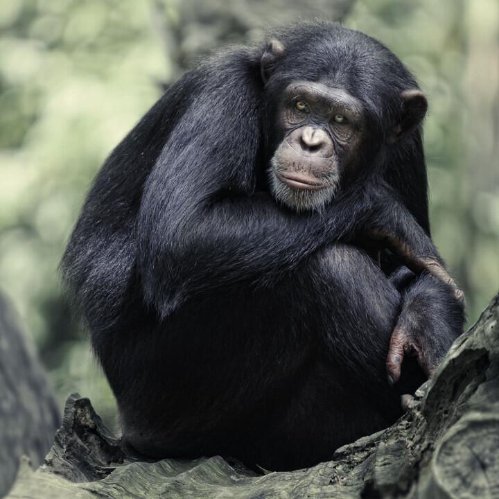 黑猩猩 - 生态, 动物 - toonman - 图虫摄影网