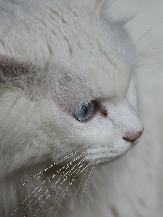 可爱白猫手机壁纸