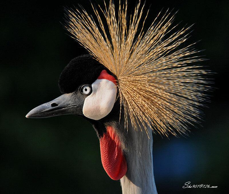 皇冠鹤 - 皇冠鹤, 动物, 非洲, 非洲集锦, 布隆迪