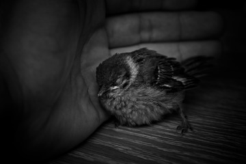 标签:麻雀小动物鸟黑白色彩