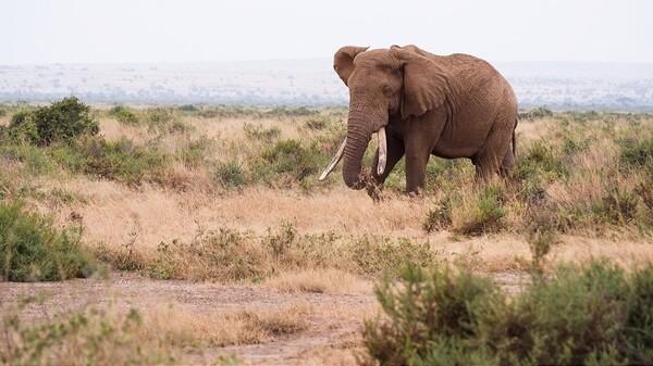 右耳描绘非洲地图的庞大动物 肥滚滚的斑马在地上打滚 传说中大迁徙